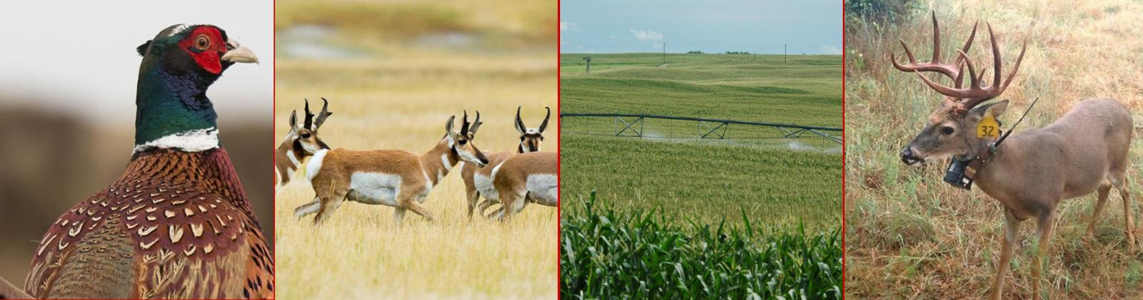 Pheasant, Pronghorn,Irrigated Corn, Deer